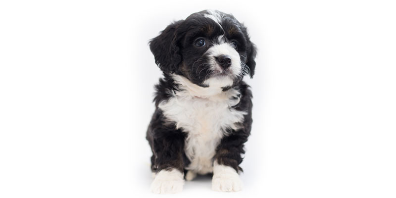 Bernedoodle puppies for sales