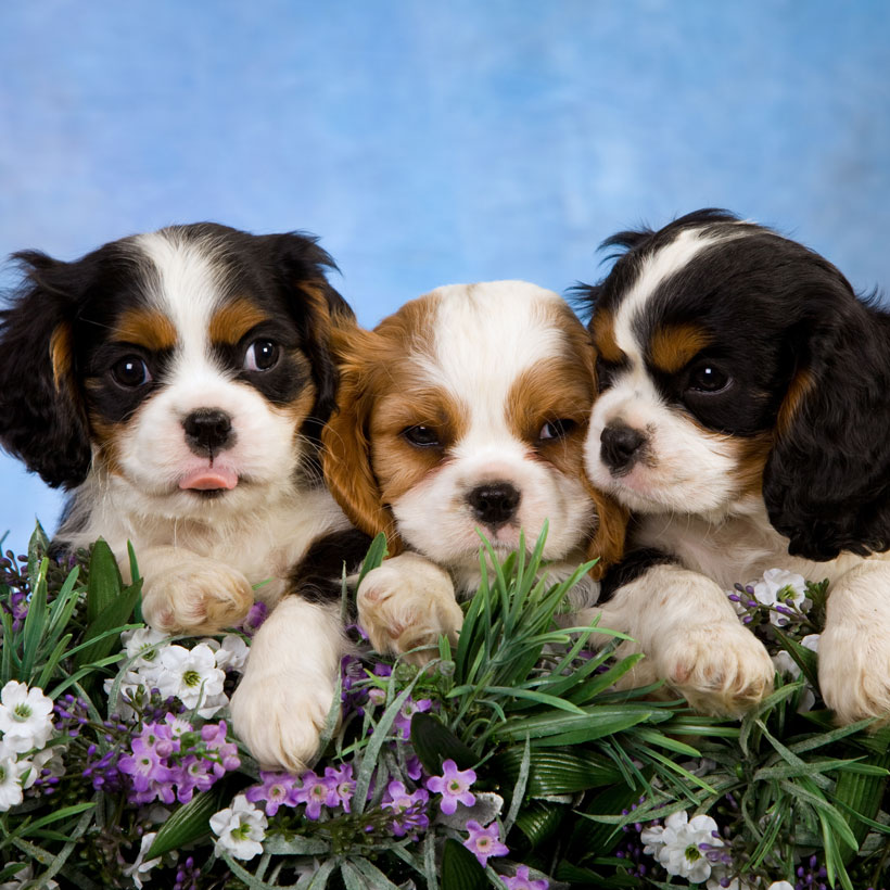 Cavalier King Charles puppies for sale