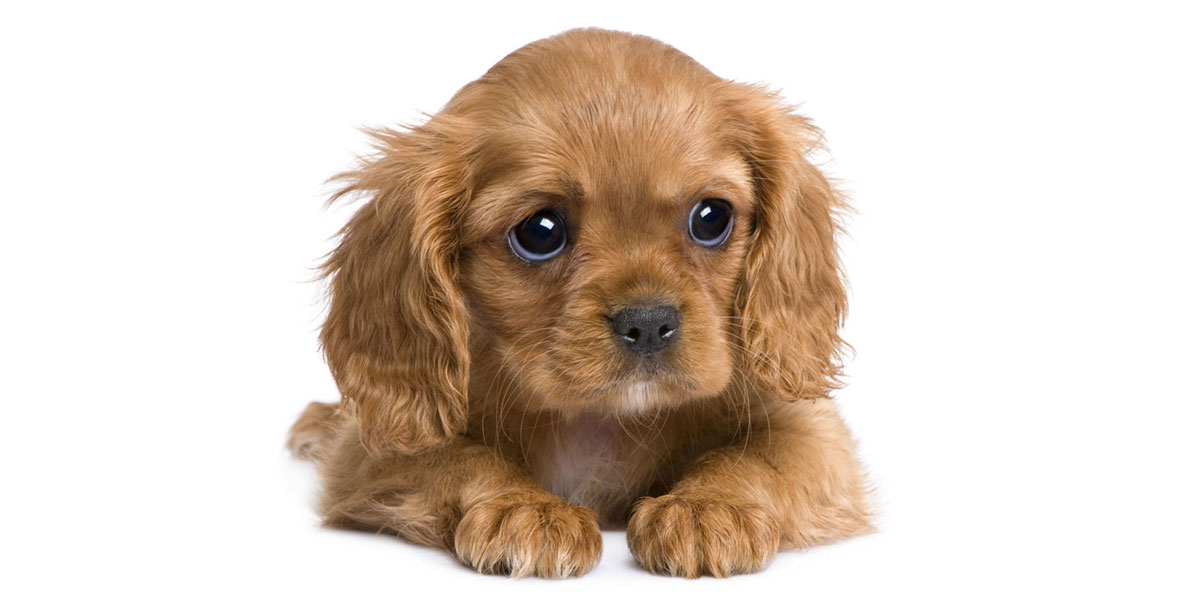 Cavalier King Charles puppies for sales