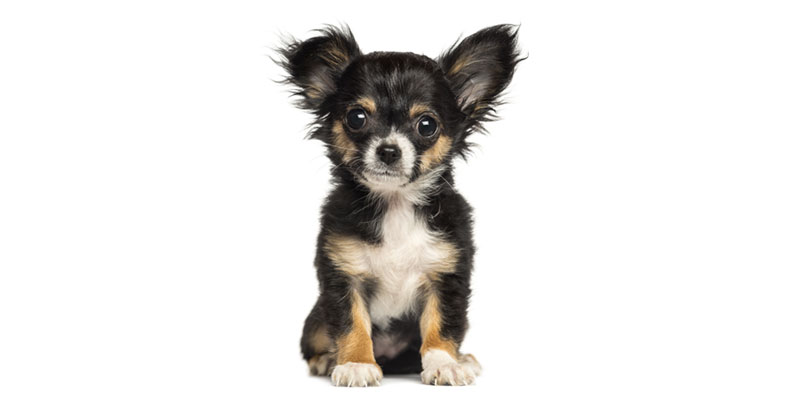 Chihuahua puppies for sales