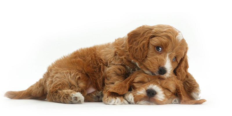 Cockapoo puppies for sales