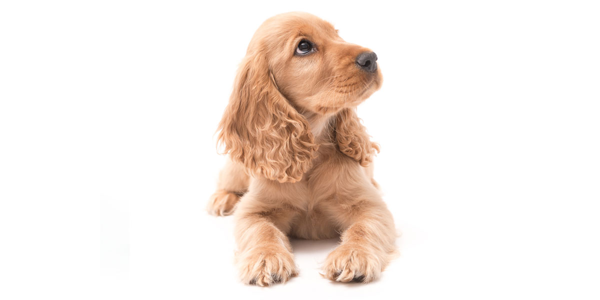 Cocker Spaniel puppies for sales