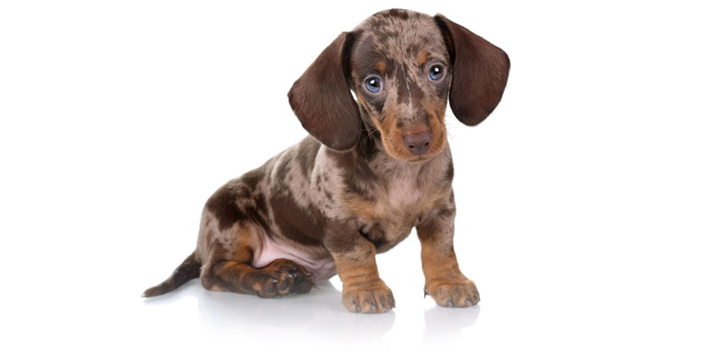 Dachshund puppies for sales
