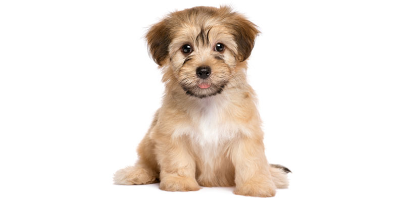Havanese puppies for sales