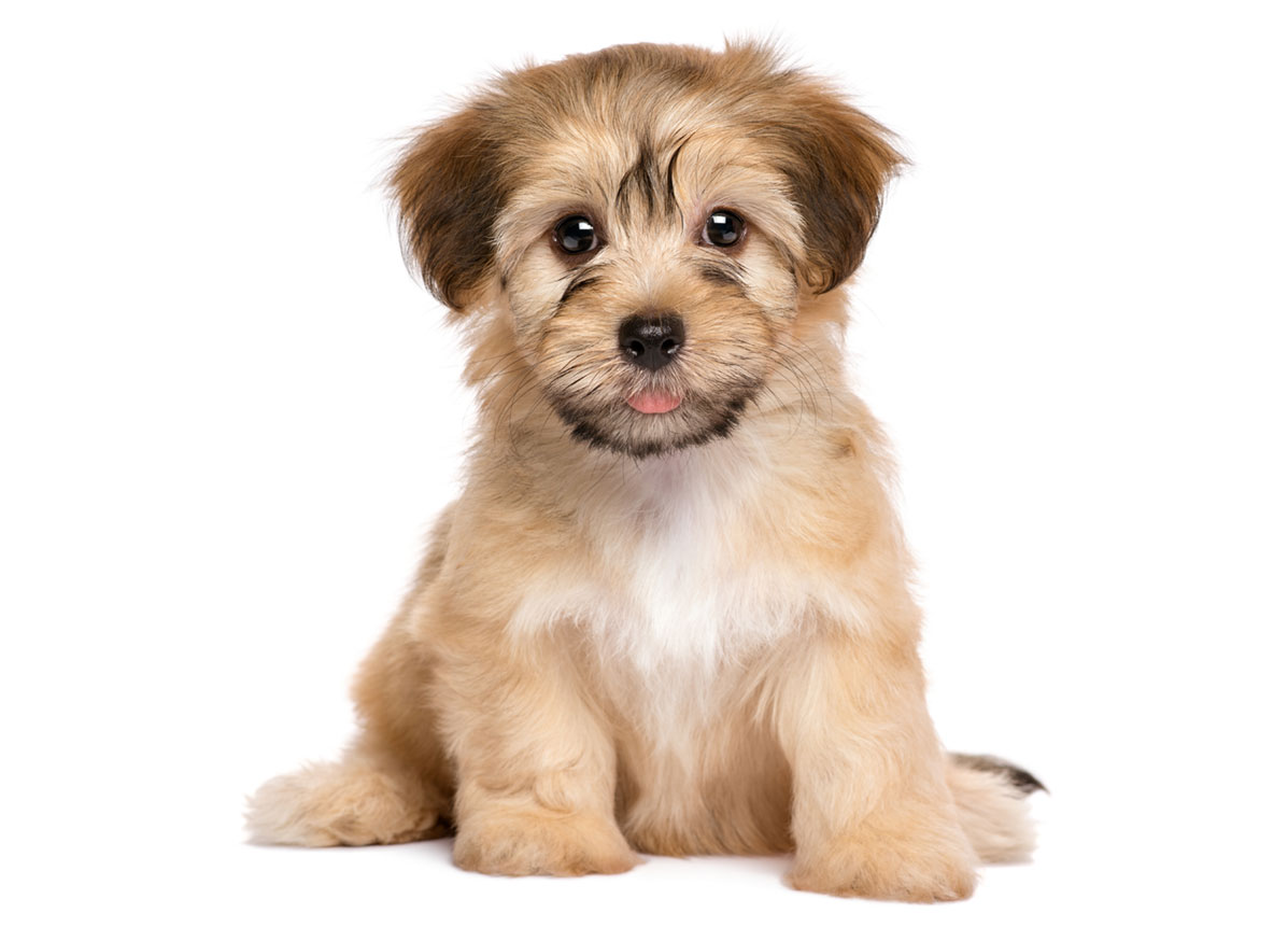 Breeders With Havanese Puppies For Sale In Texas