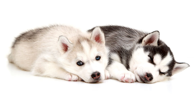 Siberian Husky puppies for sales