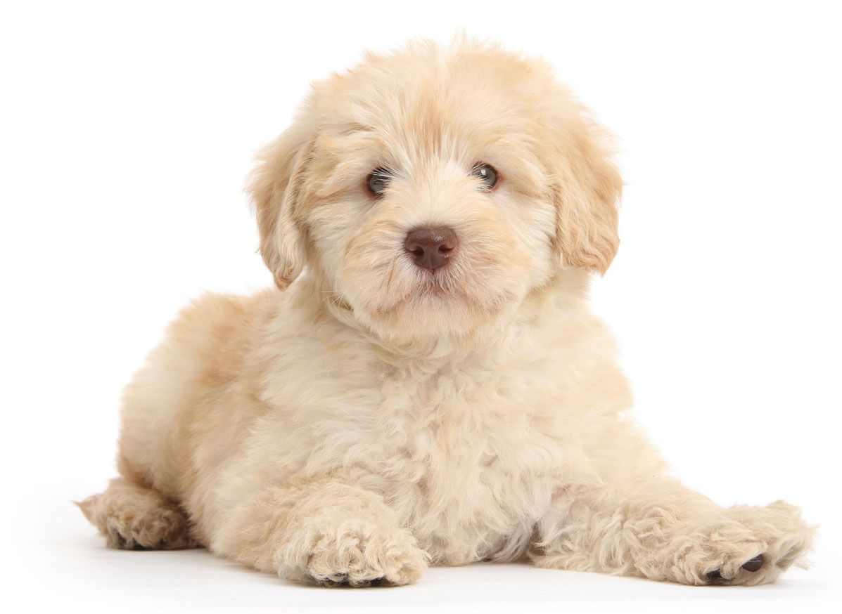 Goldendoodle Texas