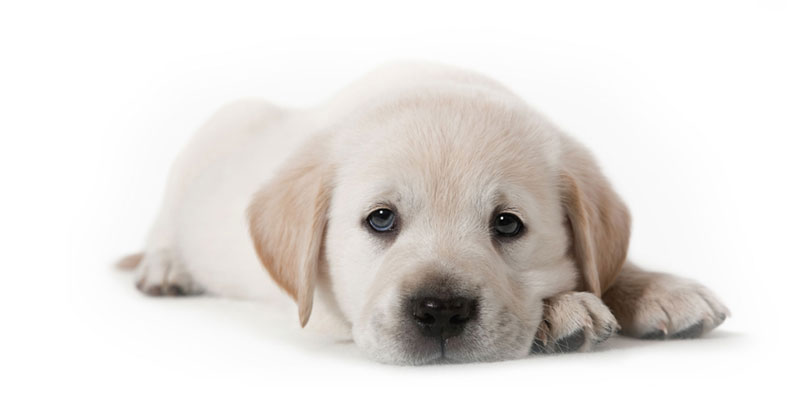 Labrador Retriever puppies for sales