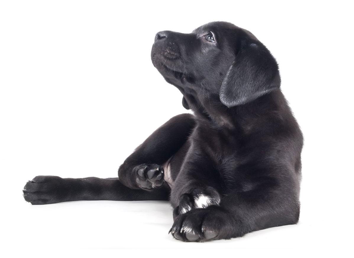 Labrador Retriever Texas