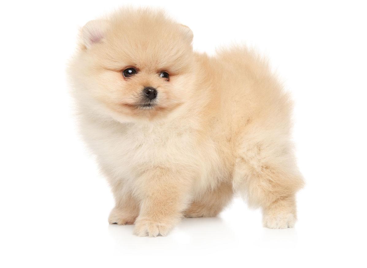 Pomeranian Texas
