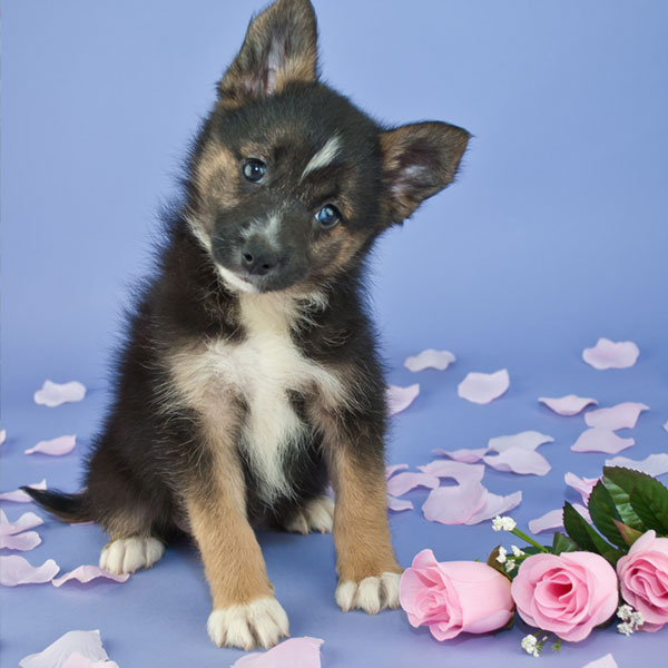 Pomsky puppies for sale