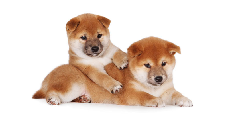 Shiba Inu puppies for sales