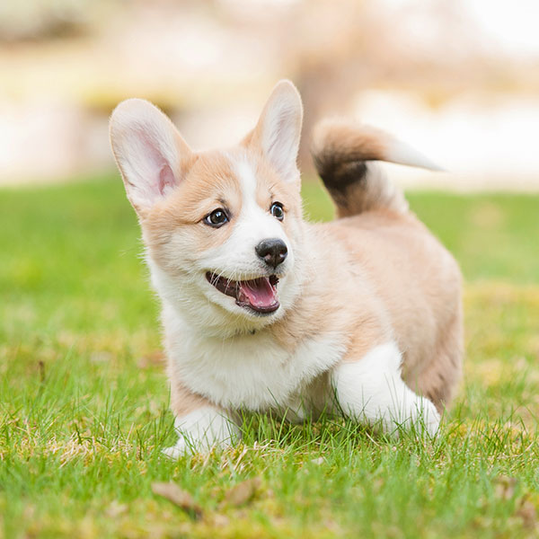Welsh Corgi puppies for sale