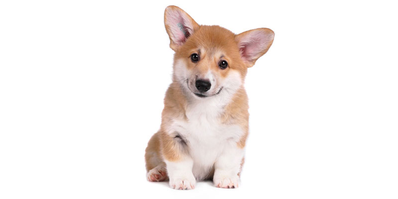 Welsh Corgi puppies for sales