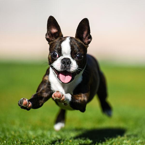 Texas Puppies Boston Terrier Breeder