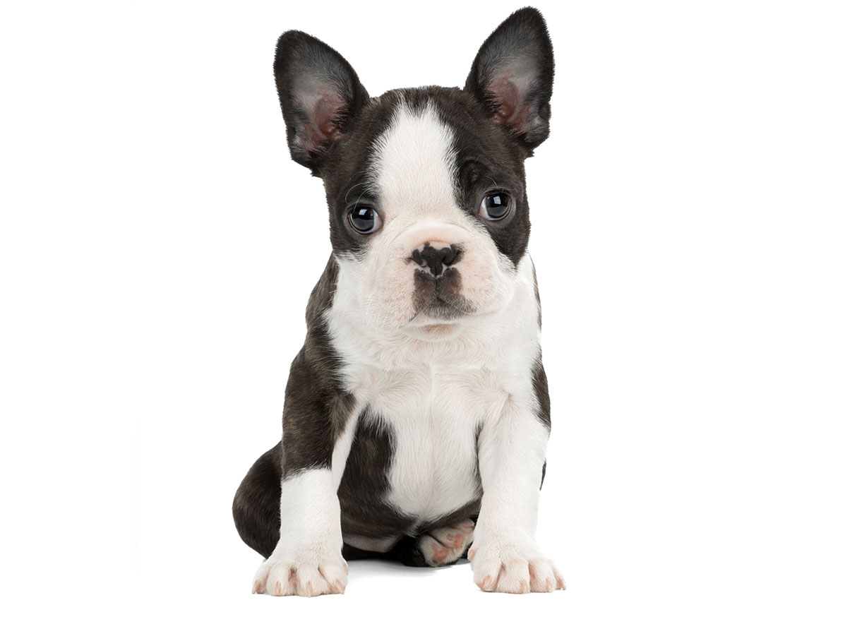 Boston Terrier Puppies for Sale by Texas Puppies