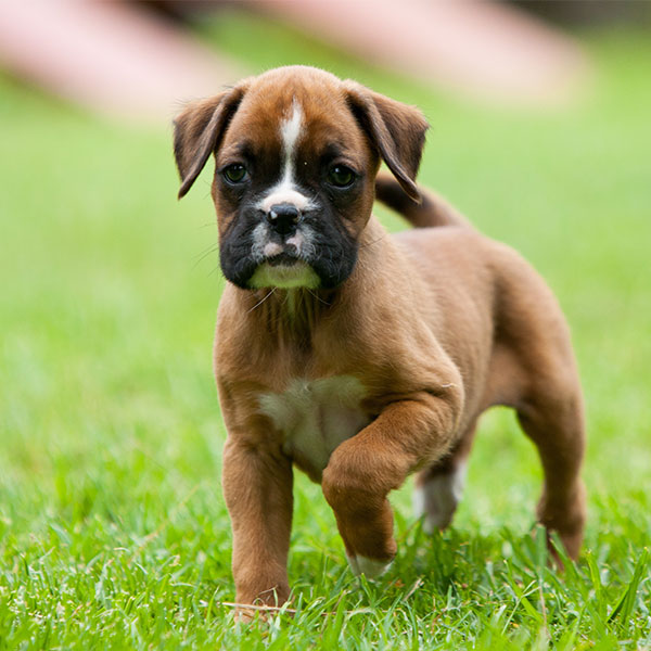 Texas Puppies Boxer Breeder