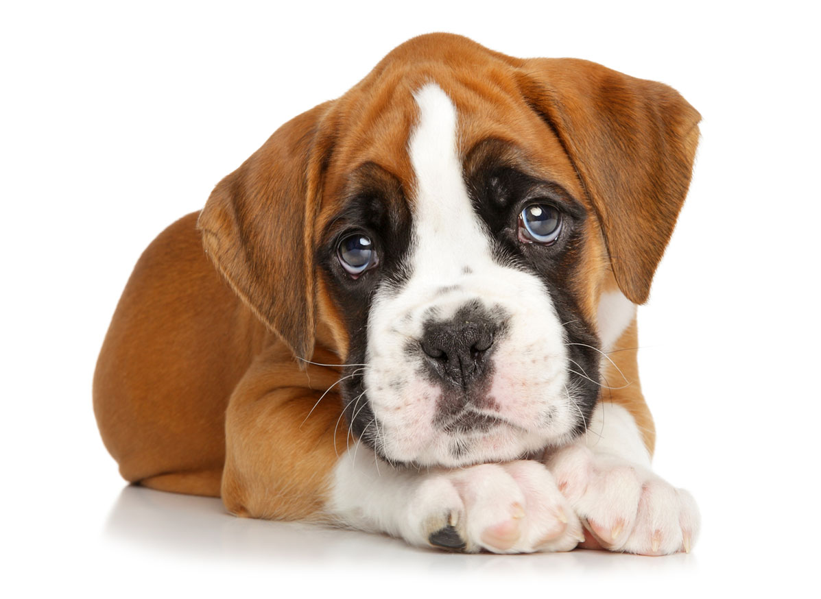Boxer Puppies for Sale by Texas Puppies