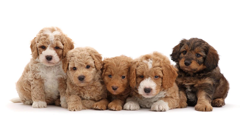 puppyfinder by Texas Puppies for Sale